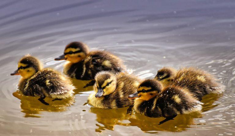 Ducklings swimming